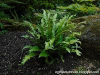 Języcznik zwyczajny- Phyllitis scolopendrium, syn. Asplenium scolopendrium