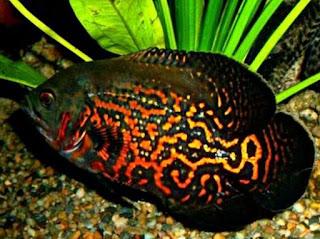 Jenis Ikan Oscar dan Harganya, Oscar Batik