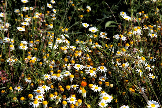 Meadow of daisies