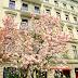 A magnolia blooms in Kreuzberg