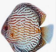 Ikan Hias Air Tawar Termahal Fine Line
