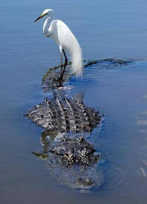 Fotos locas: ave sobre cocodrilo www.klip7.com
