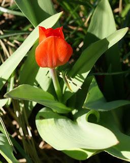 Tulipe de Marjolet - Tulipa marjoletii - Tulipa gesneriana