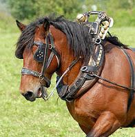 Boynuna hamut geçirilmiş bir at