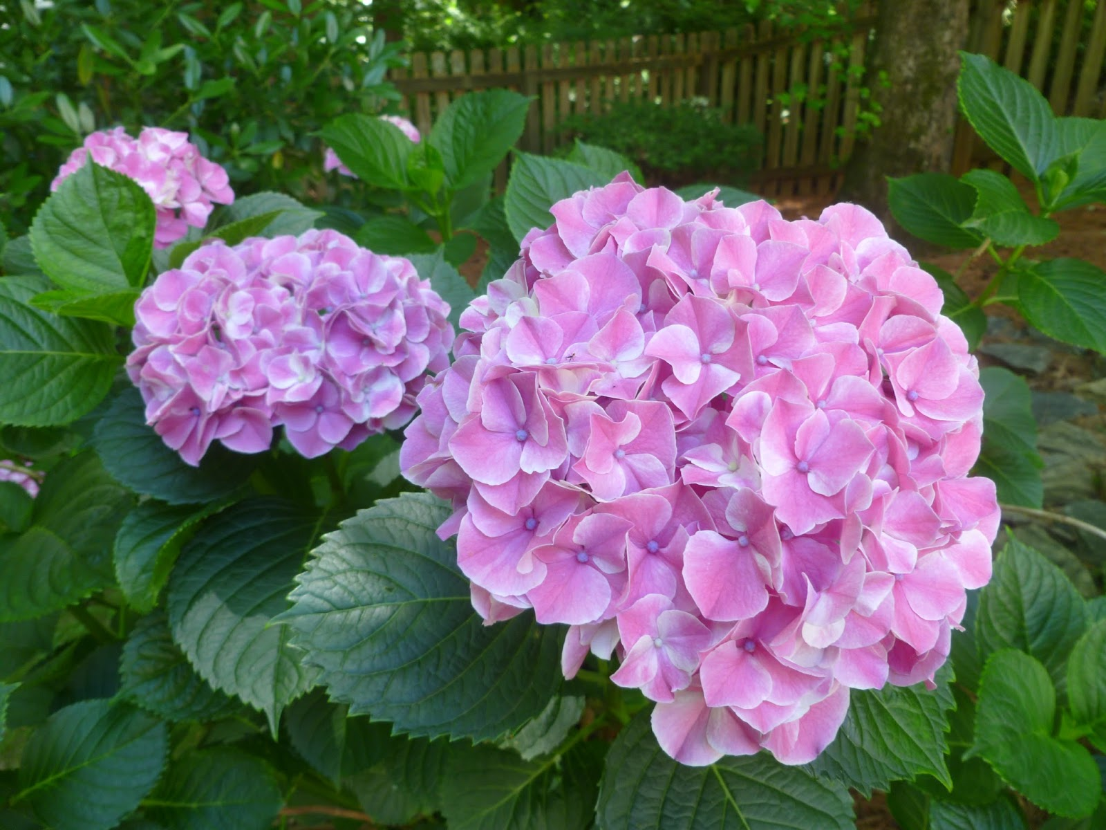 Lindaraxa Hydrangeas The Stars Of Summer