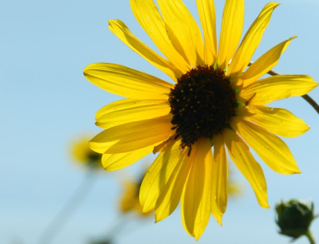 Yellow Sunflower Blue Sky
