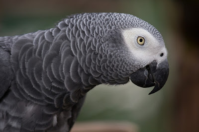 Loro gris africano
