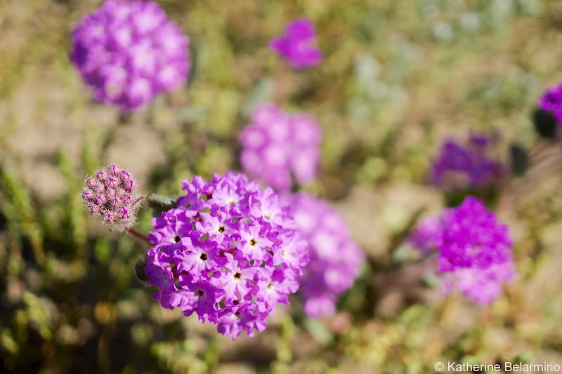 Sand Verbena Southern California Anza-Borrego Desert Wildflowers