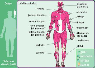 http://www.e-junior.net/anatomy/swf/Bsmusc.swf