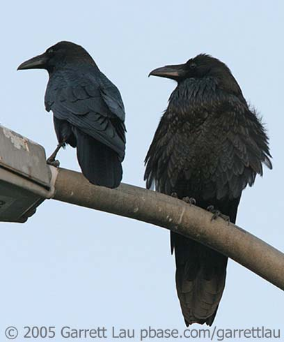 The Everyday Animal: What's the Difference: Crows and Ravens
