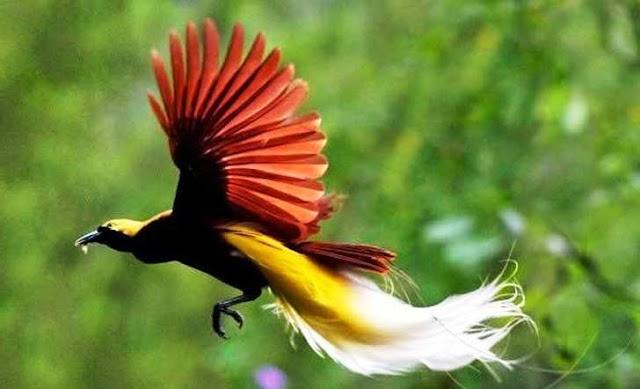 Cendrawasih burung endemik pulau terbesar di Indonesia Papua