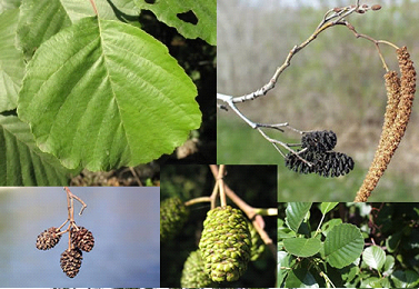 medicină populară cum arbore varicoză