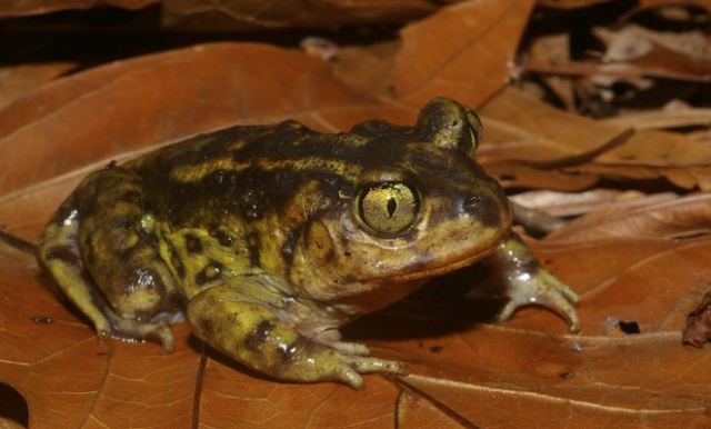 'Explosively breeding' frogs are literally dropping from above in NC, experts say
