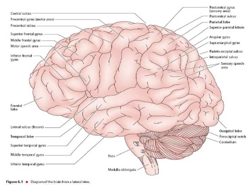 Pengertian Fungsi dan Bagian  Bagian Otak Manusia