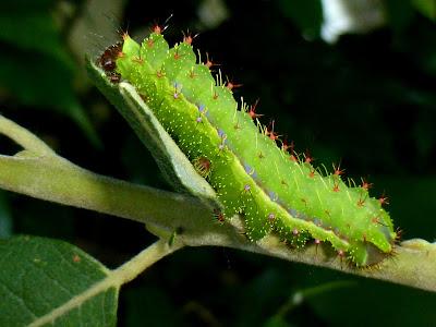Copaxa andescens caterpillar