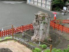 鶴岡八幡宮大銀杏
