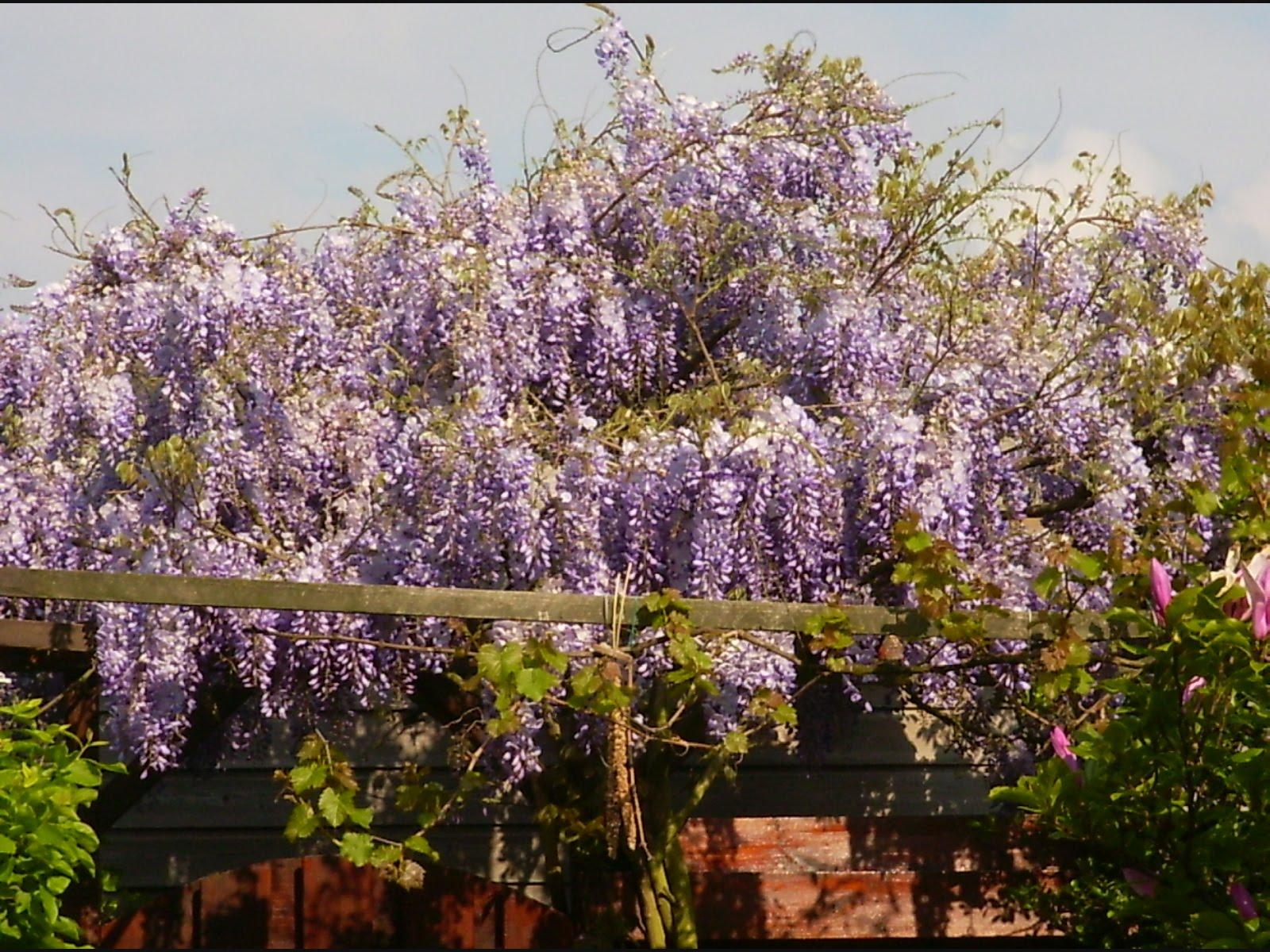 Tuinweetjes pergola begroeide boog in tuinen - Pergola klimplant ...