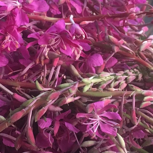 Høstede geitramsblomster