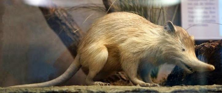 Tikus Besar Langka Ditemukan