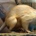 Tikus Besar Langka Ditemukan, Tikus Besar Dan Langka ini Buat Heboh Warga