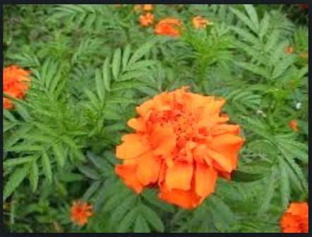 Tahukah Anda Khasiat dan Manfaat Herbal Kenikir ?