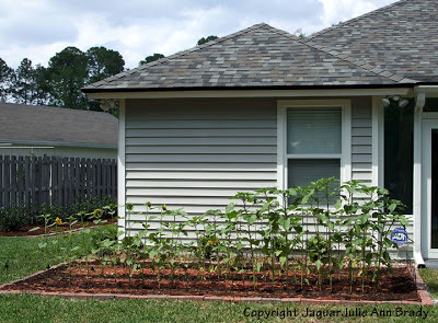 Sunflower Plants Prospering in the Ground May 9, 2013