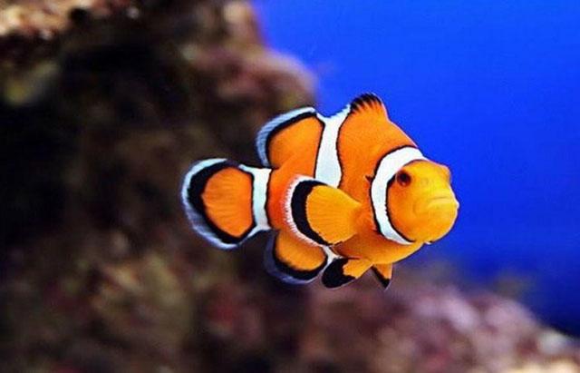 Ikan badut Punya Kemampuan Berganti Kelamin