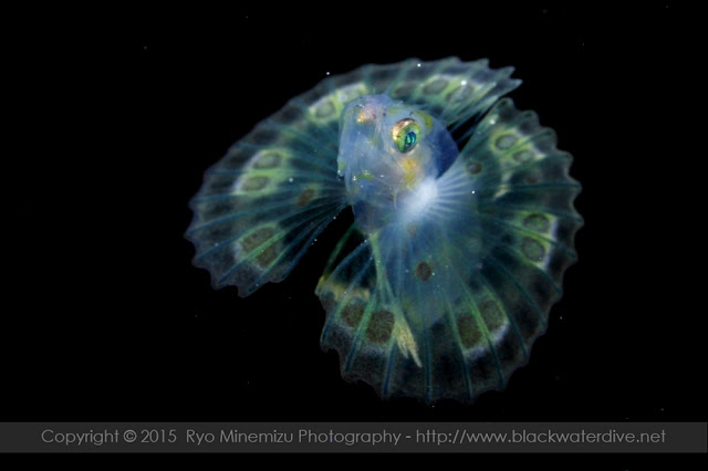 ネッタイミノカサゴ Pterois antennata (Bloch, 1787) の稚魚