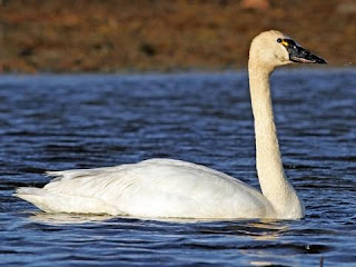 Swans dream meaning