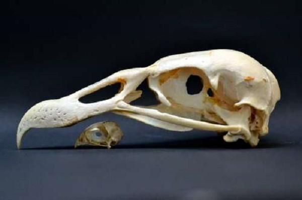 Birds of prey constrained in the beak evolution race