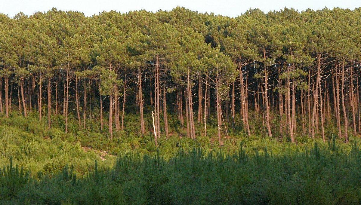 Florestas Temperadas de Coníferas