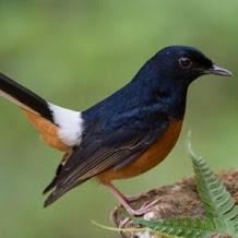 Cara Mengatasi Ekor Burung Murai Batu Yang Tumbuh Miring
