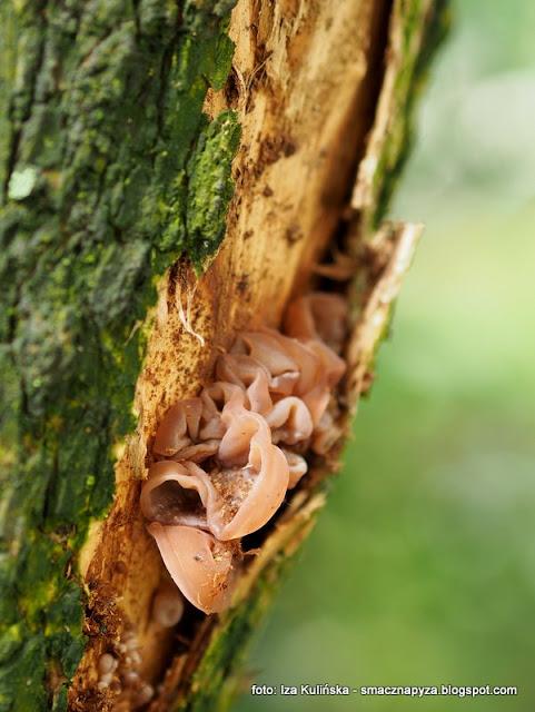 grzybobranie, ucho bzowe, auricularia auricula judae,polskie grzyby mun, judaszowe ucho, na grzyby, jaki to grzyb