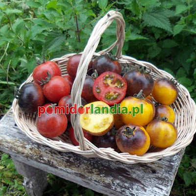 http://www.pomidorlandia.pl/media/catalog/product/cache/1/thumbnail/600x600/17f82f742ffe127f42dca9de82fb58b1/p/o/pomidor_wooly_blue_jay_mix_2017.jpg