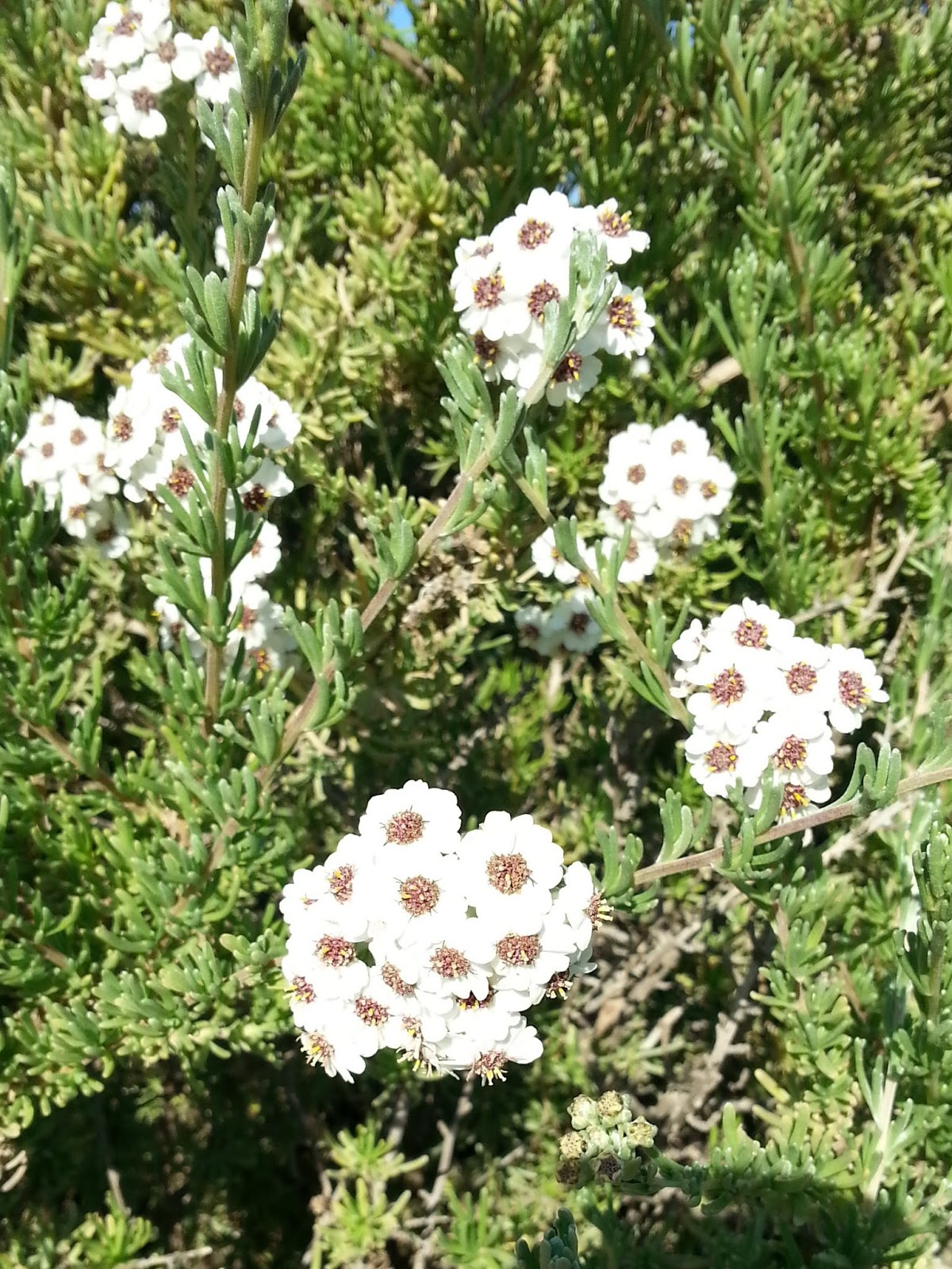 Pianta Simile Al Rosmarino cagliari in verde: un nuovo arbusto africano