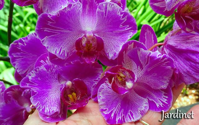 """Orquídea do vídeo """"Como salvar uma orquídea"""""""