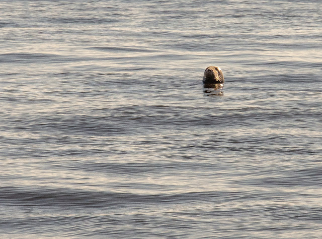 Photo of a seal watching us from the Solway Firth