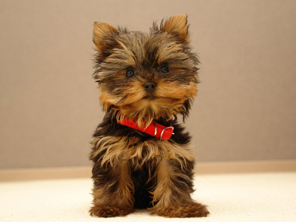 Online Wallpapers Shop: Cute Puppy Pictures, Puppy