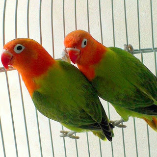 Lovebird Biola Hijau