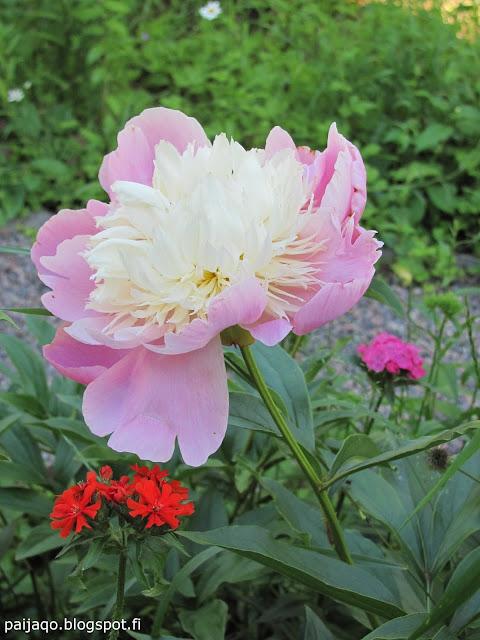 keskikesän kukka: pioni, palavarakkaus, harjaneilikka