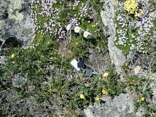 Erigeron melanocephalus, Tundra Communities, Rocky Mountain National Park