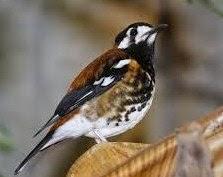 Burung anis Hibrida ( Macan ).