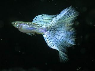 أسماك الطاووس الصينية الرائعة الجمال سبحــــــان الله image0088-731366.jpg