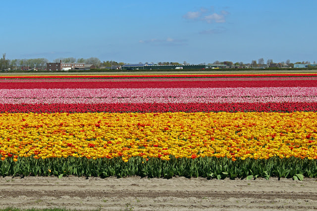 The Butterfly Balcony - Wendy's Week Liverpool to Amsterdam - Surrounding the Keukenhof are the beautiful bulb fields