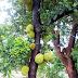 Agriculture # jackfruit