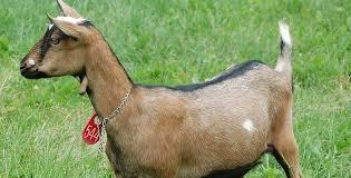 merupakan salah satu subspesies kambing  Kabar Terbaru- KAMBING