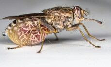 lalat-tsetse.jpg