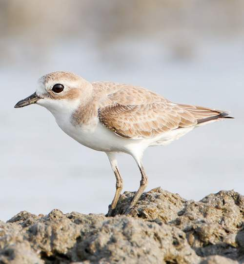 Indian birds - Photo of Lesser sand-plover - Charadrius mongolus