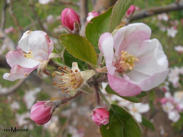 flores del manzano