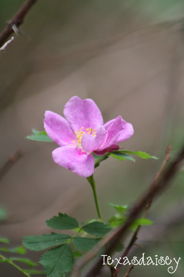 A Wild Rose near Angel Fire New Mexico